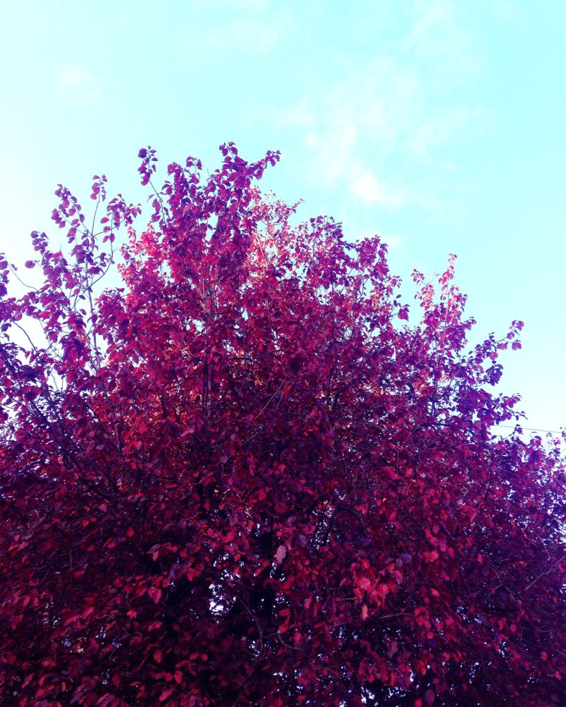 red autumn leaves and blue skies