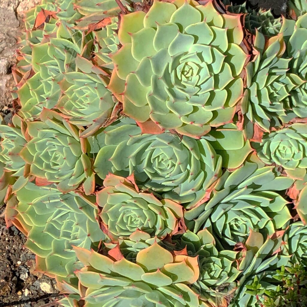 green and red tipped succulents wellington botanic gardens