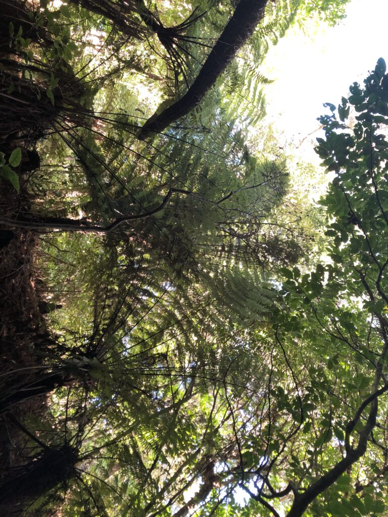 view of fern trees from below wellington botanic gardens